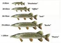 Brochet son nom suivant evolution
